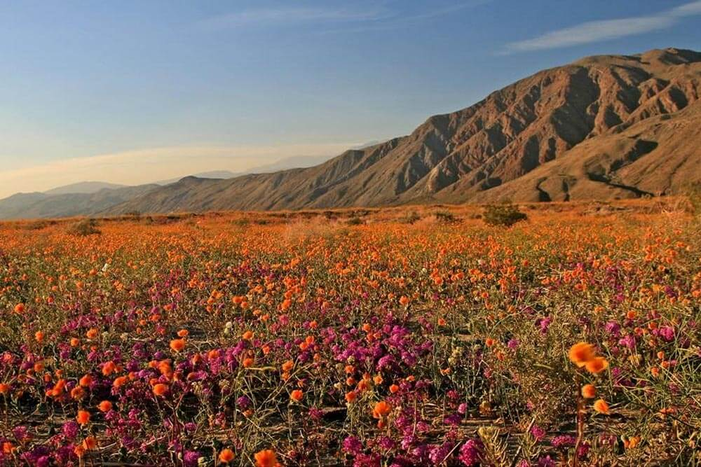 Anza-Borrego WIldflower Bloom