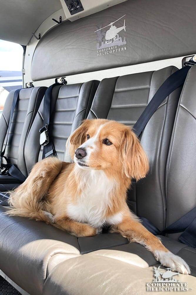 Nala, Helicopter dog. The dogs of Corporate Helicopters