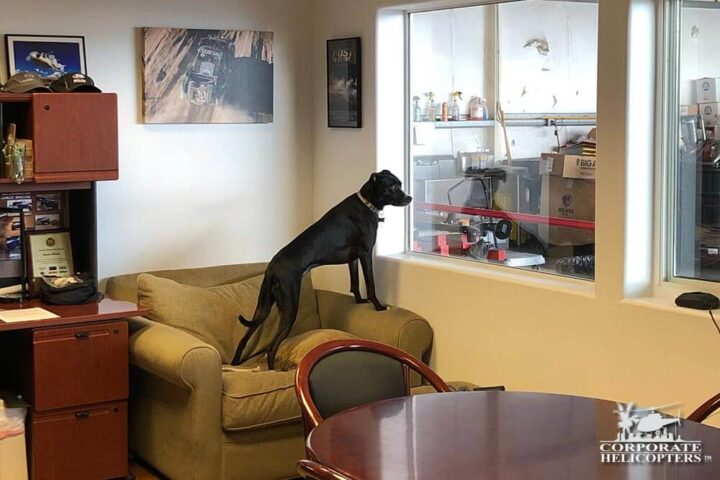 Lucy, Helicopter dog. The dogs of Corporate Helicopters